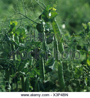 Pea crop with light shining through the pods to silouette the young peas - Stock Photo