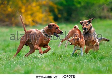 Mixed-breed dog, Basenji and Rhodesian Ridgeback playing on a meadow. Germany - Stock Photo