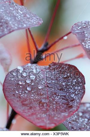Cotinus coggygria 'Red beauty', Smoke bush - Stock Photo