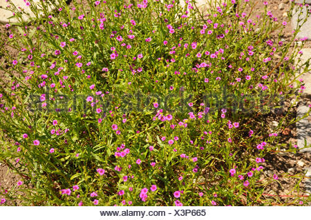 Calandrinia compressa - Stock Photo