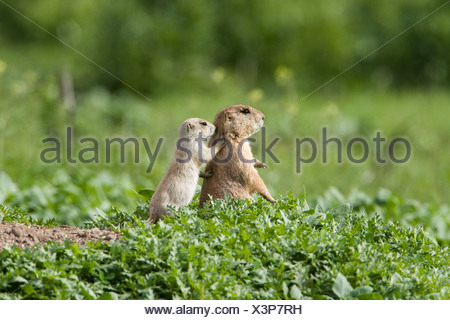 Black-tailed prairie dog (Cynomys ludovicianus), adult and juvenile at burrow, Golden, Colorado. - Stock Photo