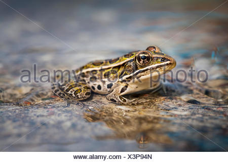Northern Leopard Frog (Lithobates pipiens), Municipality of Gordon/Barrie Island on Manitoulin Island, Ontario, Canada - Stock Photo
