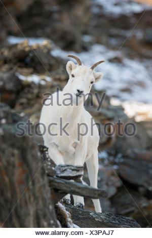 Dall Sheep (Ovis dalli), Denali National Park, Alaska, United States - Stock Photo