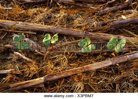 Closeup of emerging no-till cotton seedlings in early morning light surrounded by residue from the previous year's corn crop. - Stock Photo