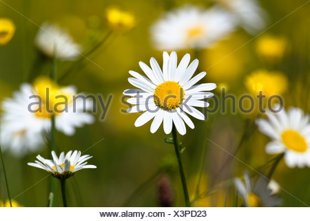 Meadow with oxeye daisies (Leucanthemum vulgare) and meadow buttercups (Ranunculus acris), Upper Bavaria, Bavaria - Stock Photo