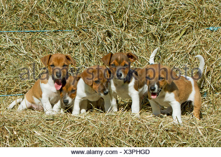 Jack Russell Terrier, Five puppies on straw - Stock Photo