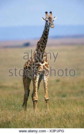 Masai Giraffe, giraffa camelopardalis tippelskirchi, Masai Mara Park in Kenya - Stock Photo