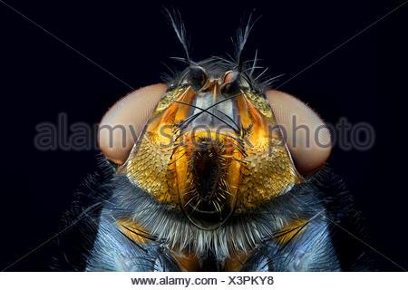 Blaue Schmeissfliege (Calliphora vicina), Portraet   bottlefly (Calliphora vicina), portrait   BLWS419003.jpg [ (c) blickwinkel/ - Stock Photo