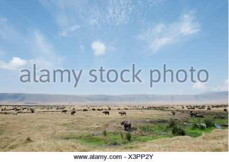 Large herd of Cape Buffalo or African Buffalo (Syncerus caffer), grasslands in the crater, Ngorongoro Conservation Area - Stock Photo