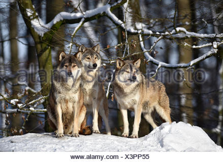 Three wolves on look out, Northwestern wolf (Canis lupus occidentalis) in the snow, captive, Baden-Württemberg, Germany - Stock Photo