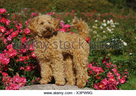 Miniature Poodle (Canis lupus f. familiaris), ten month old apricot-coloured toy poodle standing on a stone - Stock Photo