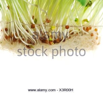 radish sprouts in water - Stock Photo