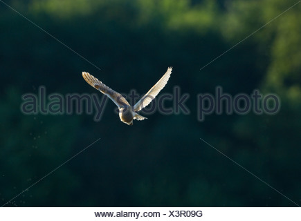 Barn Owl, Tyto alba, hunting at dusk over grazing marsh, North Norfolk, late summer UK - Stock Photo