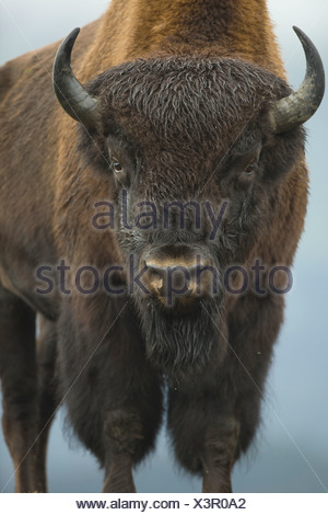 Portrait of a Wood Bison bull standing at Alaska Wildlife Conservation Center, Southcentral Alaska, Autumn. Captive - Stock Photo