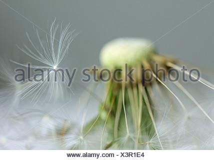 dandelion,faded - Stock Photo