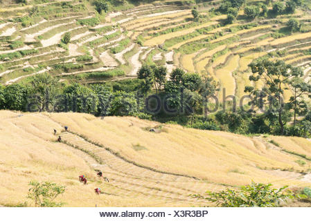 Nepal, Western Region, Bahundanda, On the Annapurna Circuit - Day 1 - From Bhulbhule to Jagat - Nepalese at the grain harvest on the cereal terraces - Stock Photo
