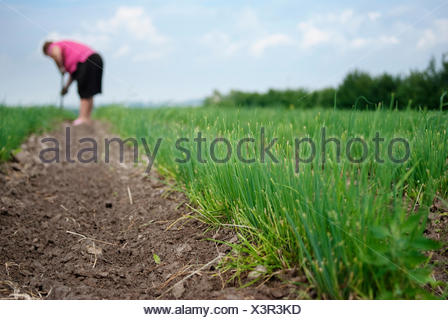 Senior female farmer working on chives plantation. Organic farming. - Stock Photo