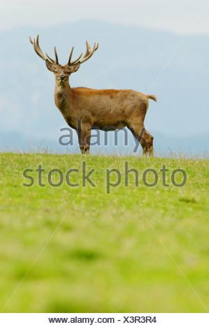 Red Deer (Cervus elaphus), Male - Stock Photo