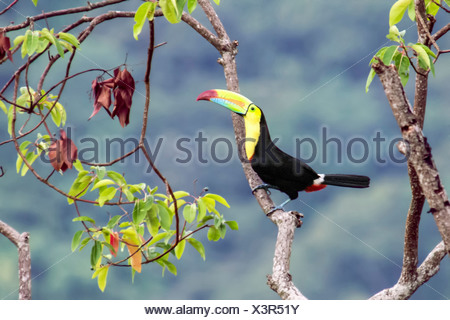 Keel-billed toucan, Ramphastos sulfuratus, Minca, Magdalena, Colombia - Stock Photo