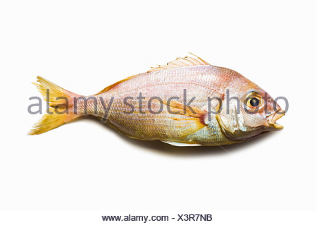 A red snapper on a white surface - Stock Photo