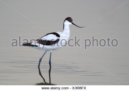 Pied Avocet (Recurvirostra avosetta), standing in shallow water, Apetlon, Lake Neusiedl, Burgenland, Austria, Europe - Stock Photo