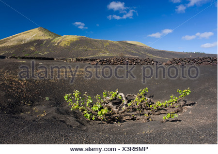 Wine-growing, dryland agriculture on lava, volcanic landscape at La Geria, Lanzarote, Canary Islands, Spain, Europe - Stock Photo
