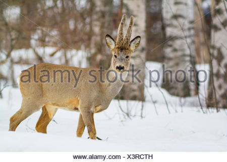 roe deer (Capreolus capreolus), in snow in winter forest, Sweden, Hamra National Park - Stock Photo