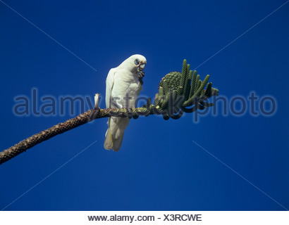 little corella (Cacatua sanguinea), sitting on a branch of an Araukaria eating, Australia - Stock Photo