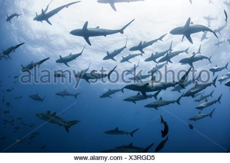 Underwater view of Silky sharks gathering in spring for mating rituals, Roca Partida, Revillagigedo, Mexico - Stock Photo