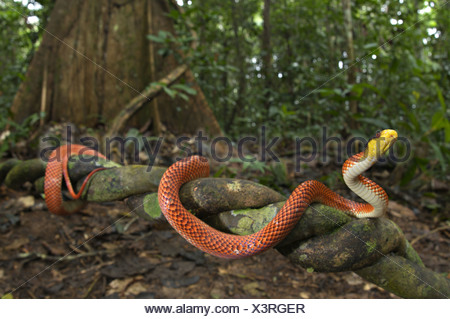 Yellow-headed Calico Snake Oxyrhopus formosus adult climbing liana forest habitat Los Amigos Biological Station Madre de Dios - Stock Photo