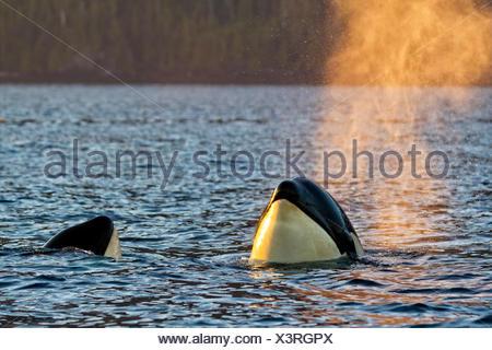 Resident killer whale spy hopping in Johnstone Strait, British Columbia, Canada - Stock Photo