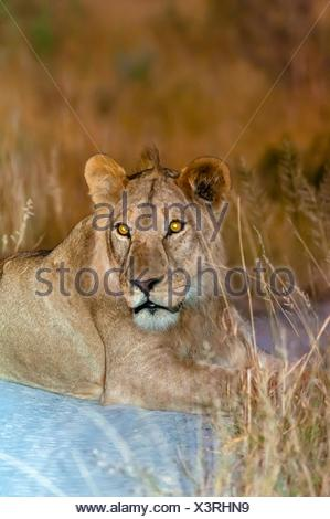 Female lions, Kwando Concession, Linyanti Marshes, Botswana. - Stock Photo