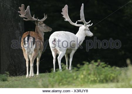 fallow deers - Stock Photo