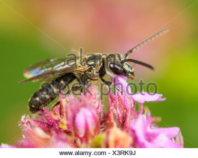 Common Green Furrow-Bee (Lasioglossum morio), Male foraging on Breckland Thyme (Thymus serpyllum), Germany - Stock Photo