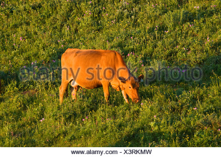 Livestock - Red Angus cow grazing on the slopes of a green pasture at sunrise / Alberta, Canada. - Stock Photo