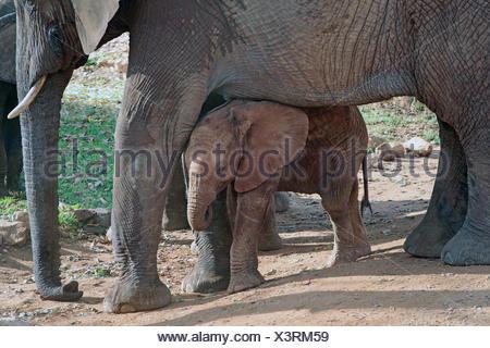 African elephant (Loxodonta africana), baby elephant taking shelter between the legs of its mother, Kenya, Amboseli National Park - Stock Photo