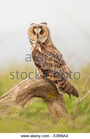 Long-eared Owl (Asio otus) perched on a branch, Jersey, Channel Islands, UK - Stock Photo