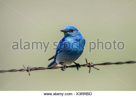 Mountain Bluebird (Sialia currucoides) Beautiful and pretty,  the colorful male bluebird sitting on barbed wire fence. Wateton National Park, Albeta, Canada - Stock Photo