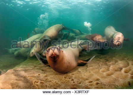 A group of juvenile sea lions, eumetopias jubatus, at play in the Strait of Georgia off Hornby Island, British Columbia, Canada - Stock Photo