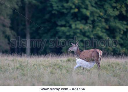 Red deer (Cervus elaphus), deer, adult, brown morph nursing white calf, Zealand, Denmark - Stock Photo