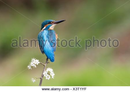 Kingfisher (Alcedo atthis), male sitting on blackthorn branch, Hesse, Germany - Stock Photo