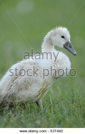 Hump swan, Cygnus olor, chicks, - Stock Photo