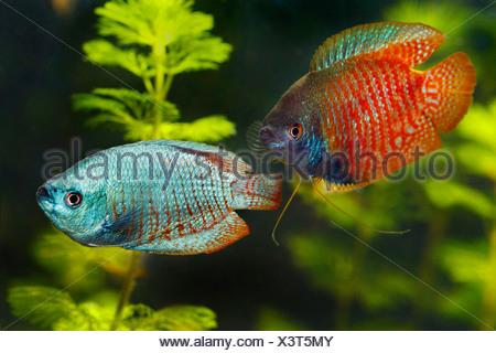 Dwarf gourami - couple / Colisa lalia - Stock Photo