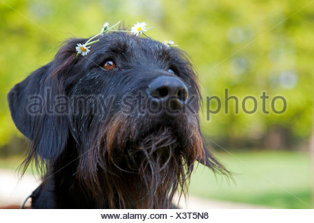 Giant Schnauzer (Canis lupus f. familiaris), portrait of giant schnauzer mongrel with flower garland, Germany - Stock Photo