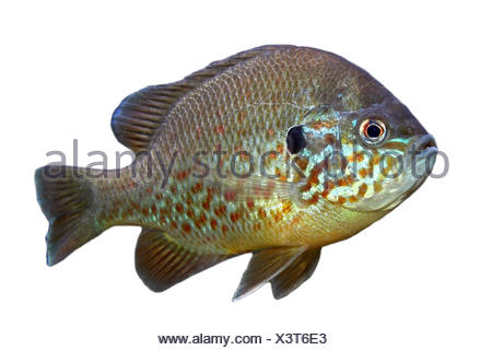 Pumpkinseed (Lepomis gibbosus) on a white background - Stock Photo