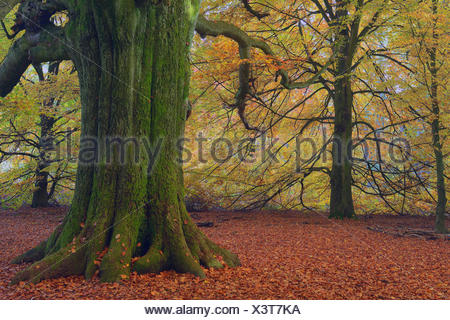 Mossy trunk of an old Beech (Fagus) in autumn, coloured leaves with backlighting, Urwald Sababurg primeval forest - Stock Photo