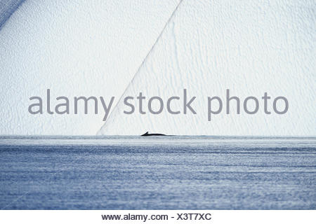humpback whale (Megaptera novaeangliae), in front of an iceberg, Greenland, Ilulissat, Disko Bay - Stock Photo