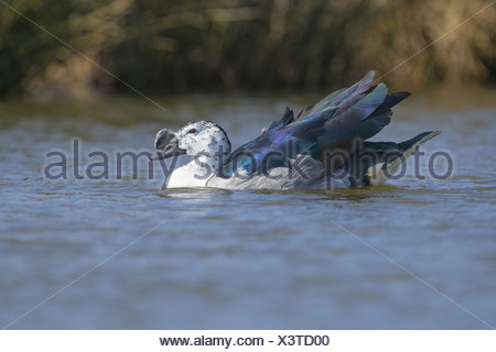 Knob-billed Goose (Sarkidiornis melanotos) adult male, swimming (captive) - Stock Photo