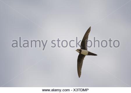 Alpine Swift (Apus melba) adult, in flight, on migration, Tarifa, Cadiz, Andalusia, Southern Spain, autumn - Stock Photo