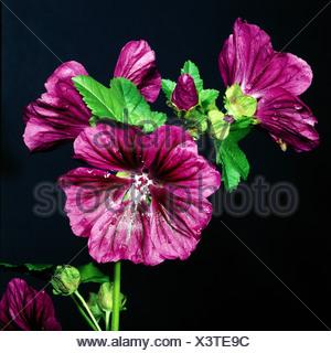 botany, Abutilon, (Abutilon), Indian Mallow, (Abutilon indicum), blossoms and buds, at shoot, studio shot, Malvaceae, Chinese Be - Stock Photo